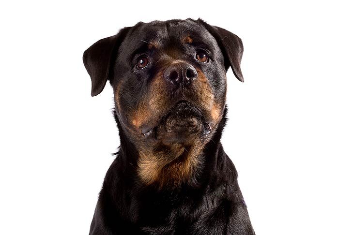 Rottweiler head facing forward and slightly up