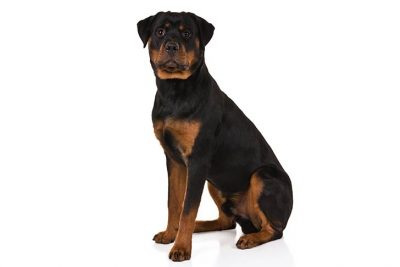 rottweiler pictures american kennel club