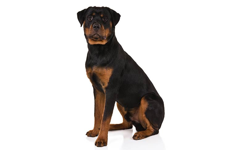 Rottweiler Sitting In Three Quarter View Facing Forward