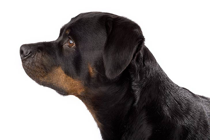 Rottweiler head facing left