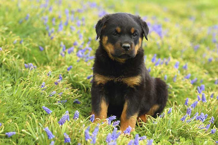 Rottweiler Dogs Pictures Rottweiler Dogs For Adoption In