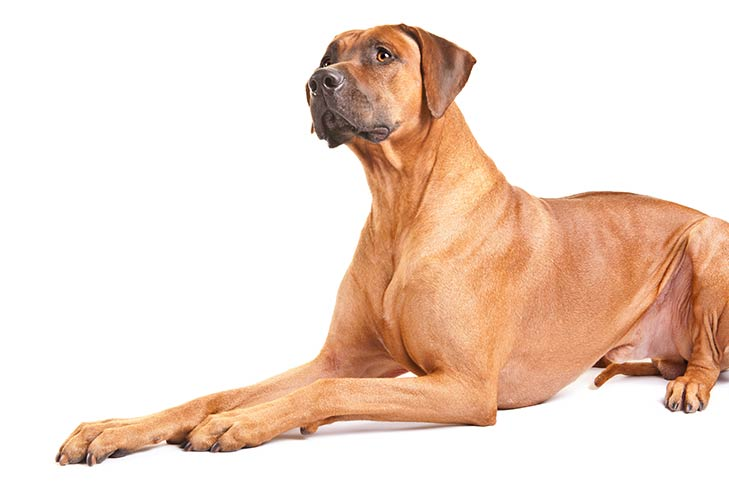 Rhodesian Ridgeback lying in three-quarter view