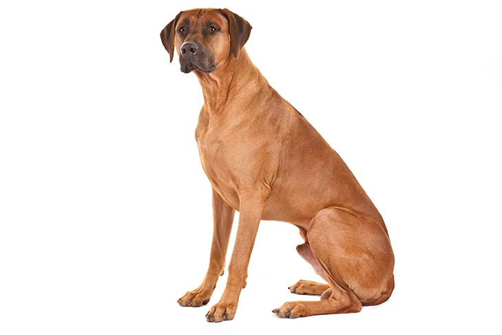 Rhodesian Ridgeback sitting facing left, head turned forward