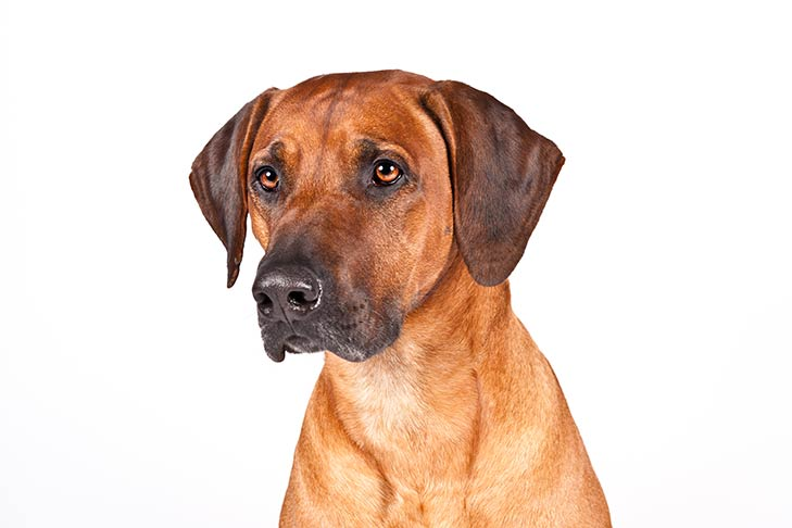 Rhodesian Ridgeback head and shoulders facing forward, head turned slightly left