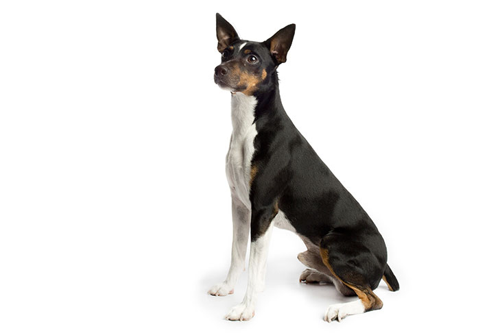 Rat Terrier sitting sideways facing left, head turned slightly forward