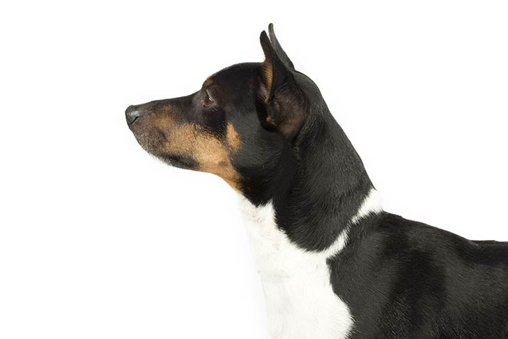 Rat Terrier head facing left