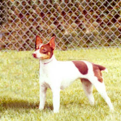 akc rat terrier rat terrier dog breed information 2542