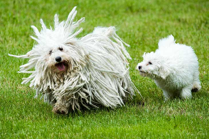 An adult Puli with cords running alongside a younger Puli