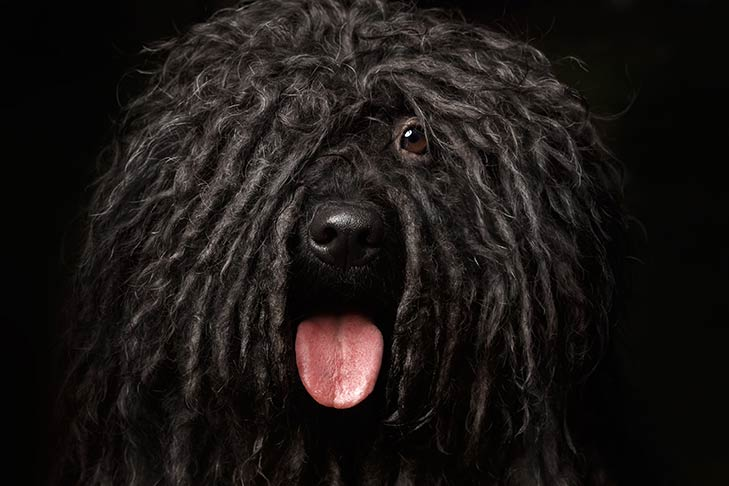 Puli face with black cords and tongue out