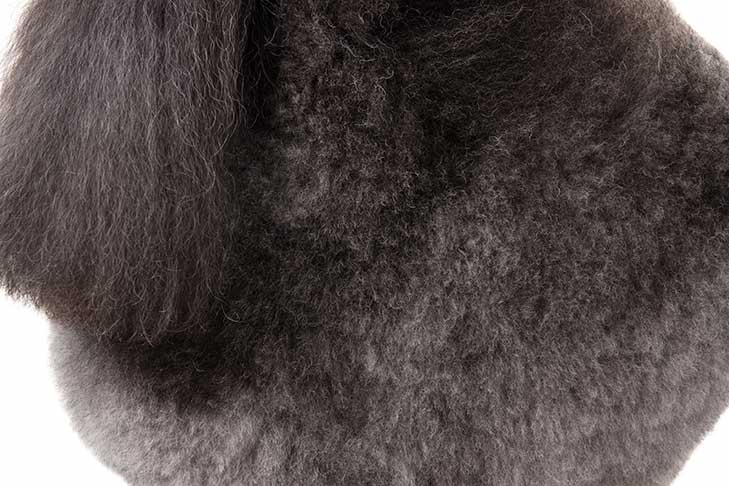 Gray-colored Poodle coat detail