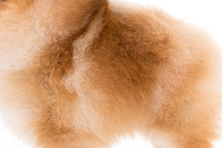 Pomeranian coat detail