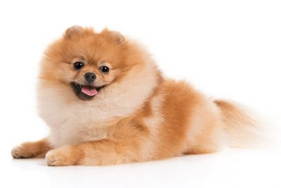 Pomeranian Pictures American Kennel Club