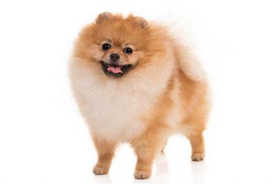Keeshond Dog Breed Information