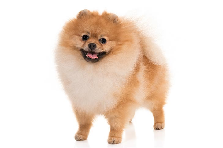 Pomeranian standing in three-quarter view facing forward