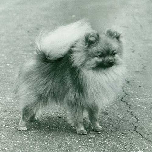 pomeranian history pomeranian dog breed information 6963