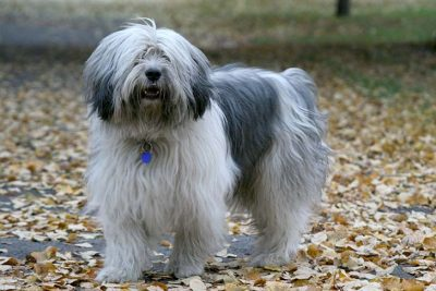 Polish Lowland Sheepdog
