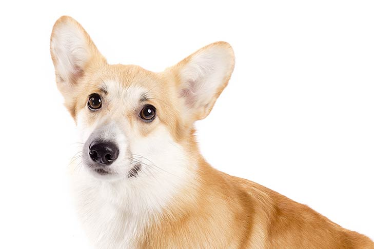 Pembroke Welsh Corgi head and shoulders sitting facing left, head turned forward