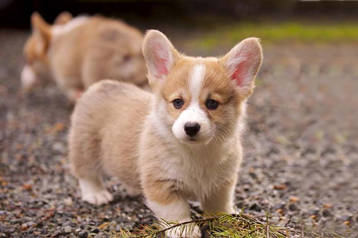 pembroke welsh corgi dog breed information