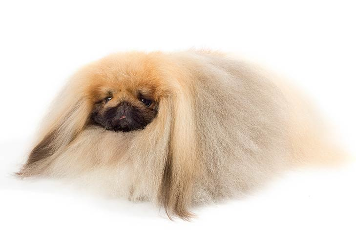 Pekingese lying in three-quarter view
