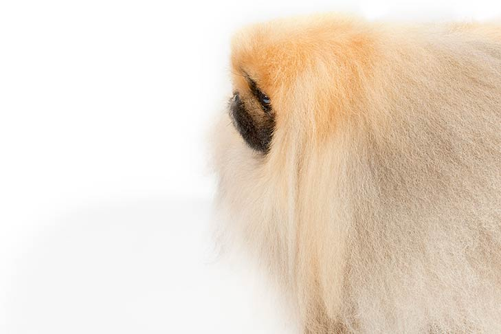 Pekingese head facing left