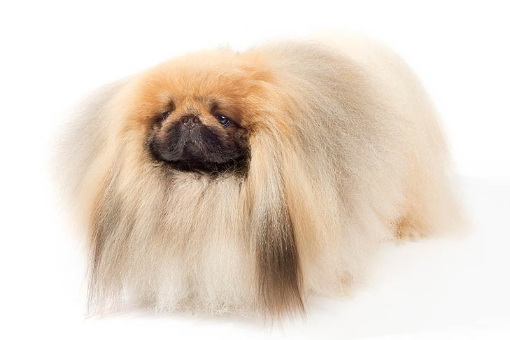 Pekingese standing in three-quarter view