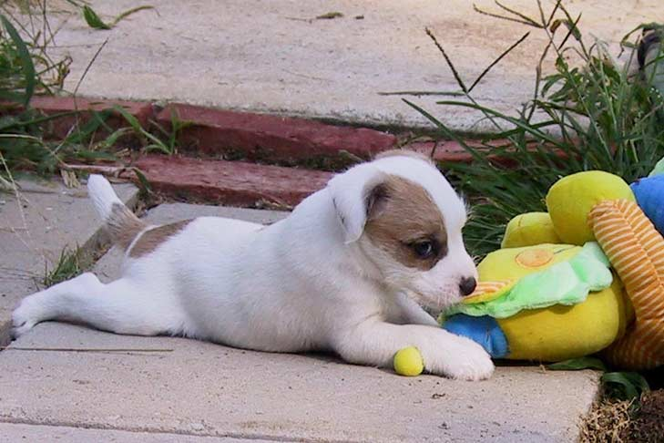 Parson Russell Terrier Dog Breed Information