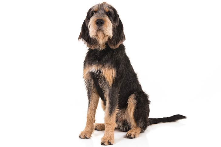 Otterhound sitting in three-quarter view facing forward