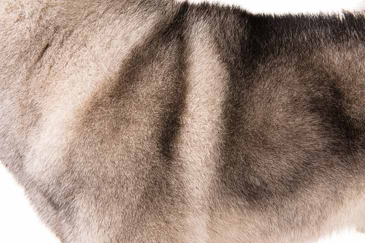 Norwegian Elkhound coat detail