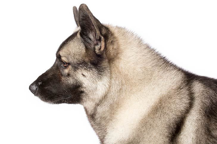 Norwegian Elkhound head and neck facing left