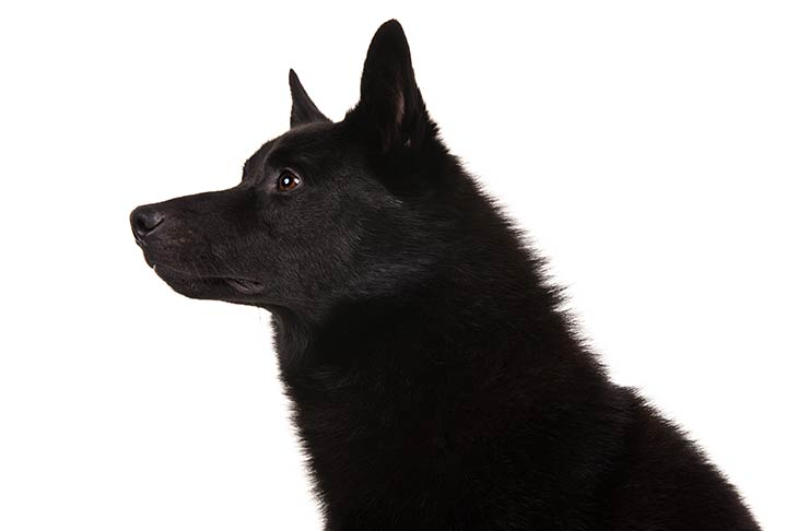 Norwegian Buhund head and neck facing left