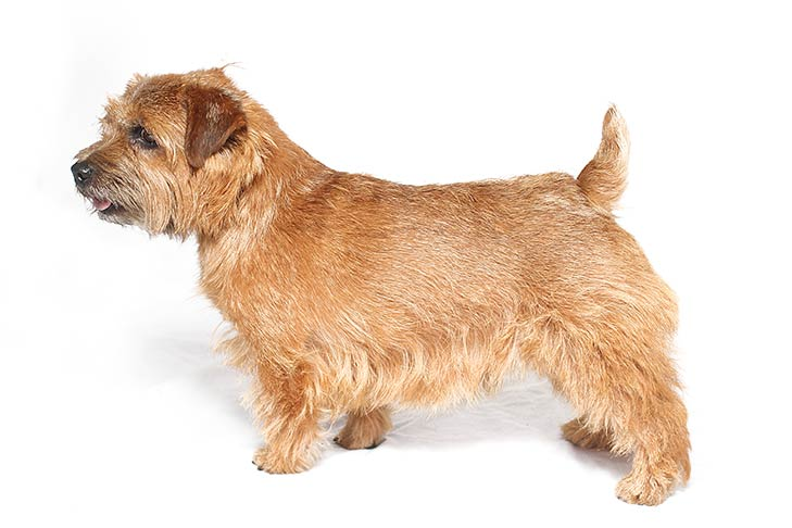 Norfolk Terrier standing facing left