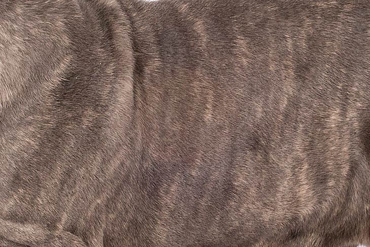Neopolitan Mastiff coat detail