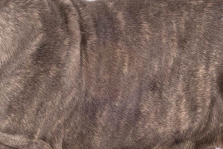 Neopolitan Mastiff coat detail