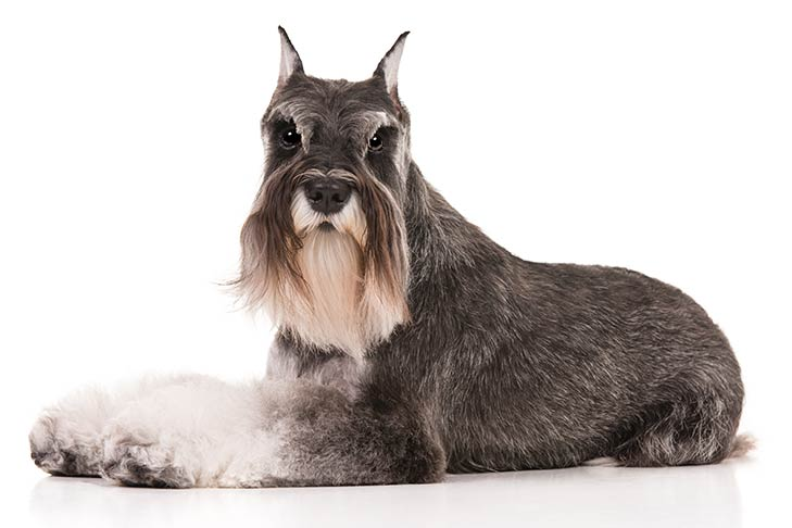 Miniature Schnauzer lying sideways facing left, head turned forward