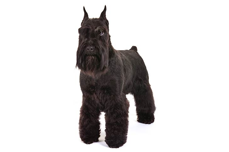 Miniature Schnauzer standing in three-quarter view