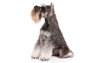 Miniature Schnauzer Pictures American Kennel Club