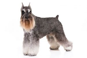 Miniature Schnauzer standing in three-quarter view facing forward.