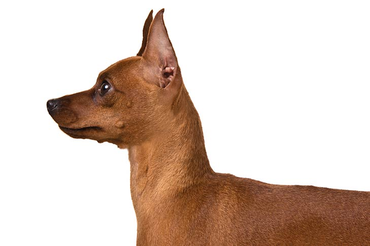 Miniature Pinscher head and shoulders facing left
