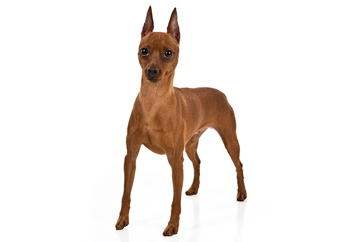 Miniature Pinscher standing in three-quarter view