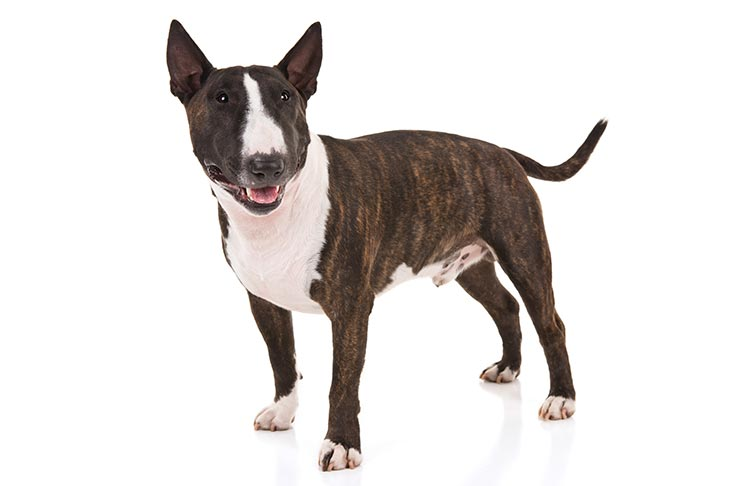 Miniature Bull Terrier standing in three-quarter view facing forward