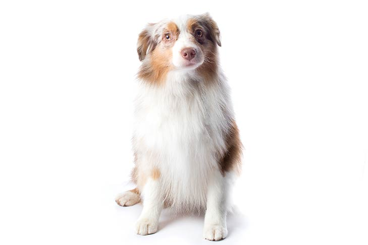 Miniature American Shepherd sitting facing forward