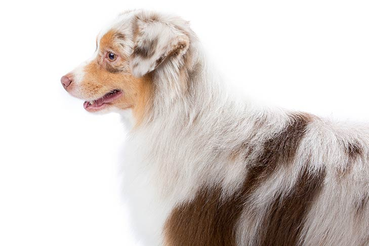 Miniature American Shepherd facing left