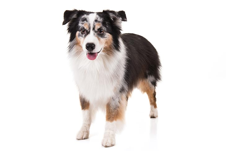 Miniature American Shepherd standing in three-quarter view