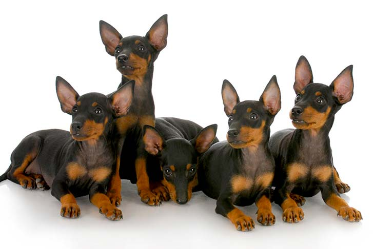Manchester Terrier Toy puppies