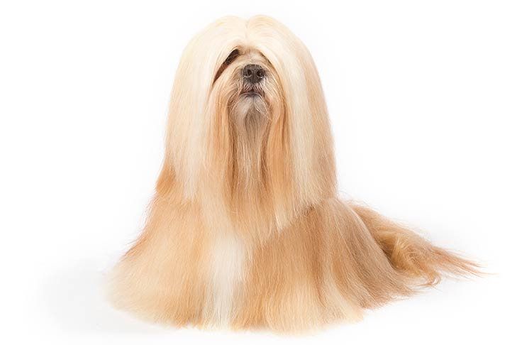 Lhasa Apso sitting facing forward