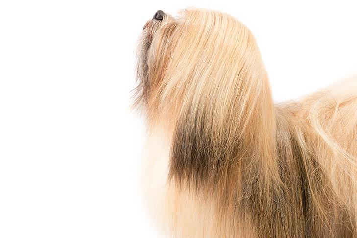 Lhasa Apso head and shoulders facing left