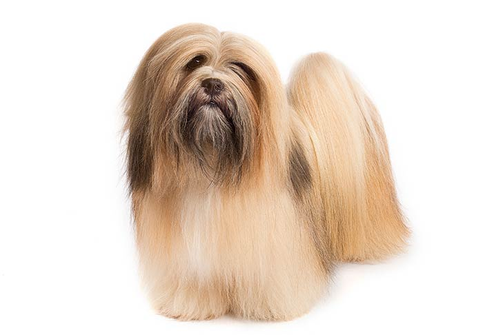 Lhasa Apso standing in three-quarter view