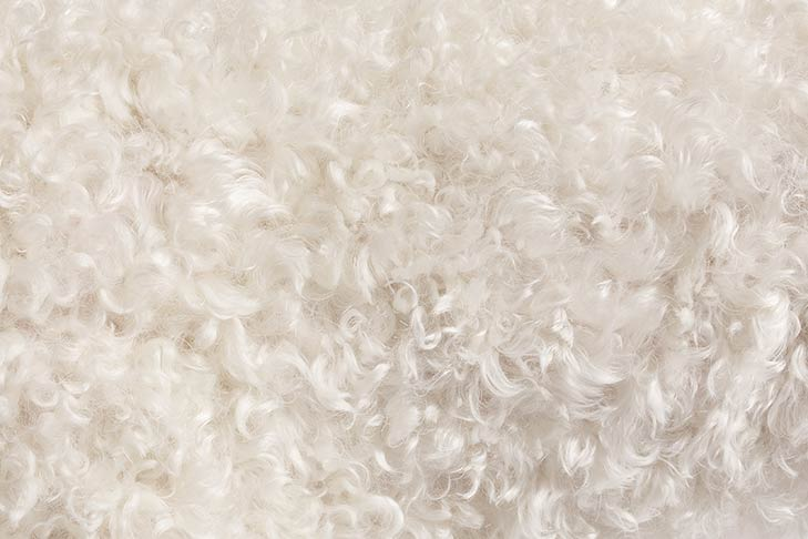 Lagotto Romagnolo coat detail