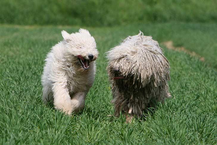 Two Komondorok running through a grassy field