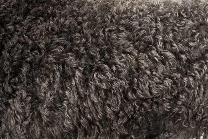 Kerry Blue Terrier coat detail